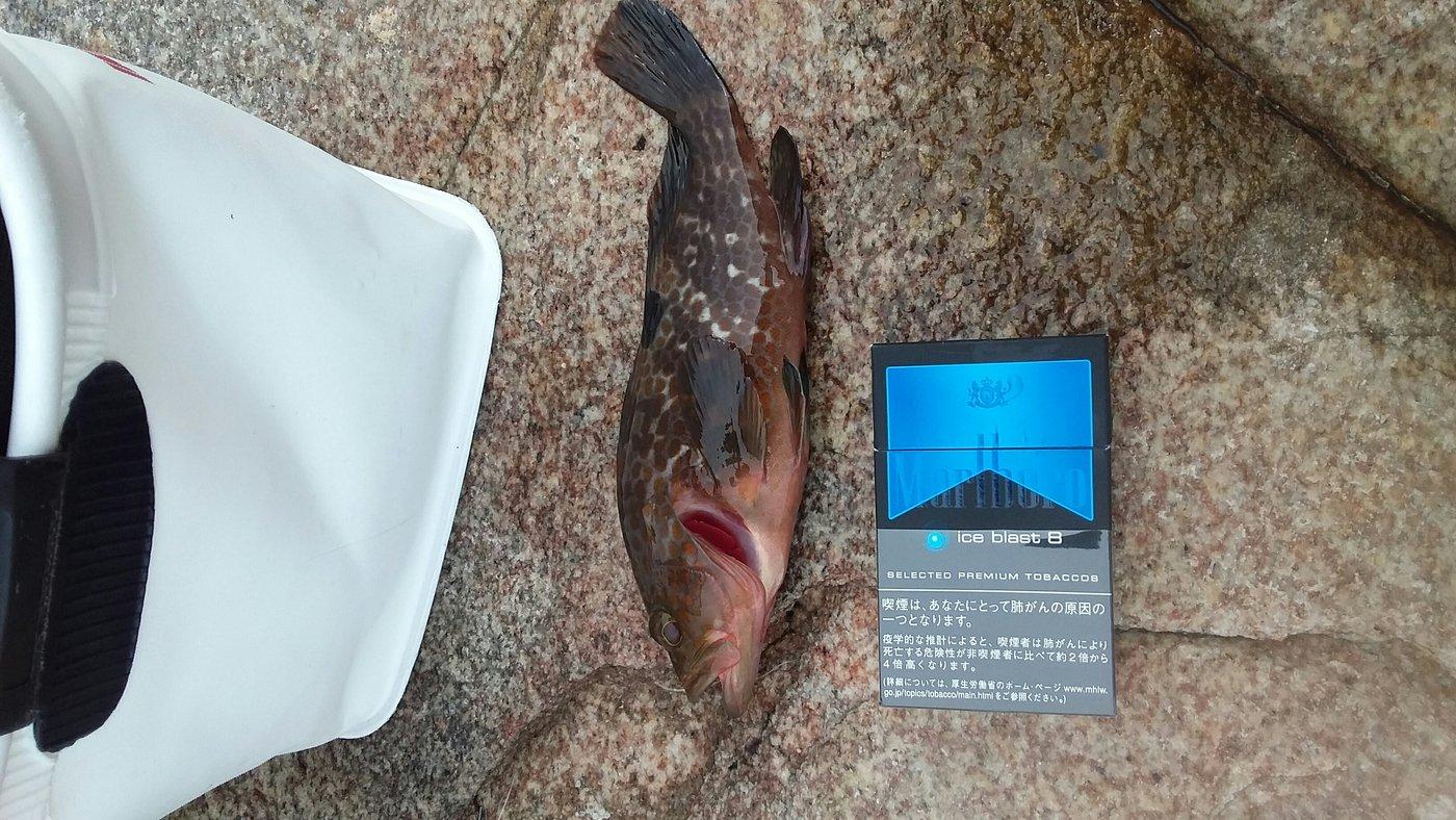 トキヒロさんの投稿画像,写っている魚はキジハタ