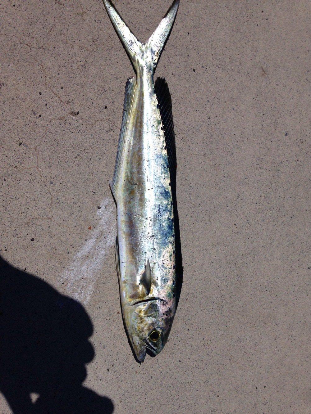 ヒルネさんの投稿画像,写っている魚はシイラ