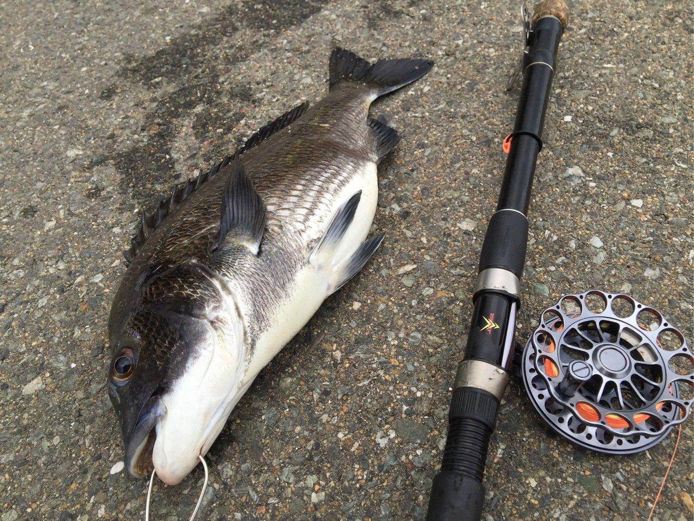 DAURADE NOIREさんの投稿画像,写っている魚はクロダイ