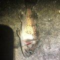 シーアツさんの北海道苫小牧市での釣果写真