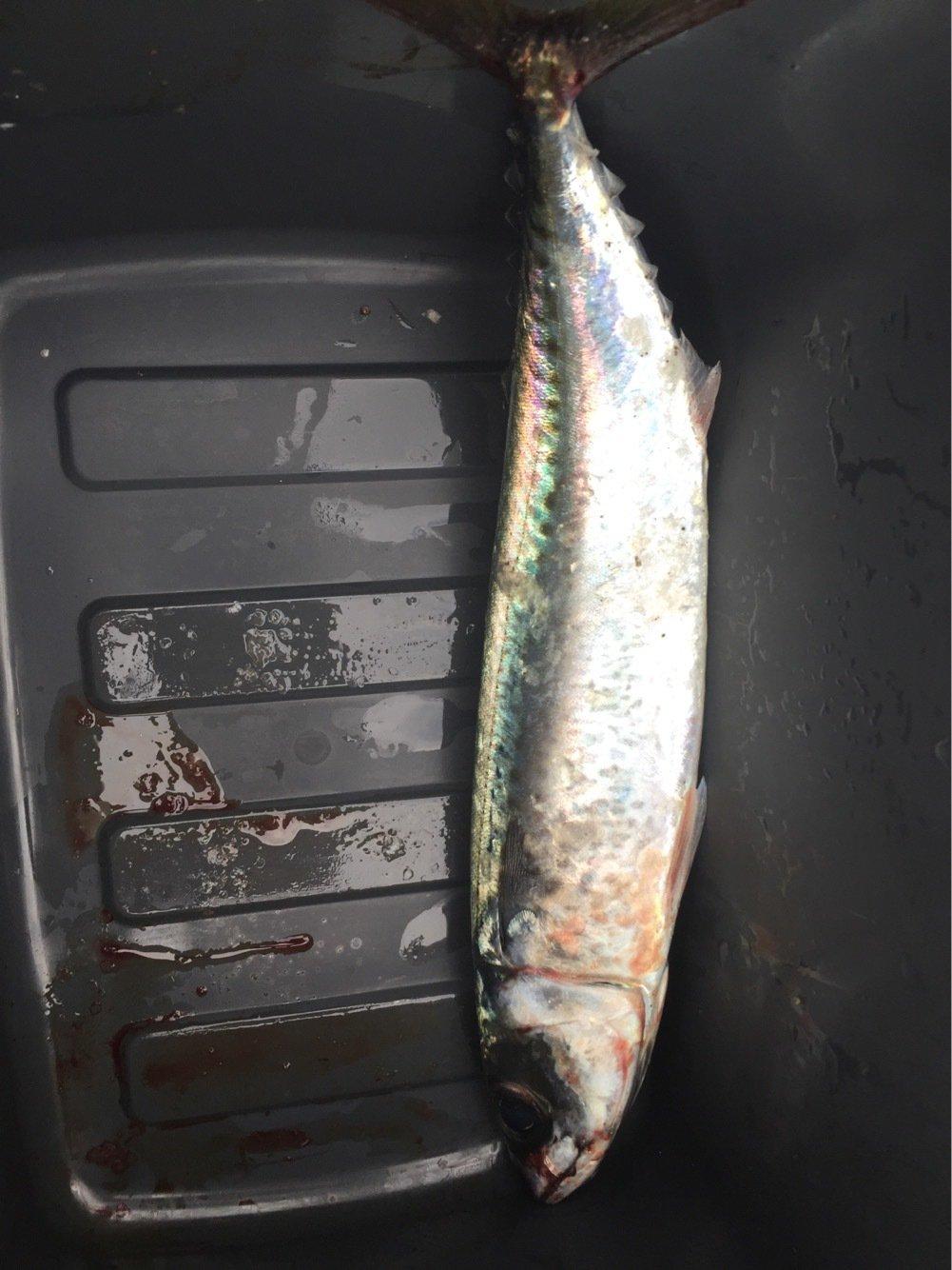隼さんの投稿画像,写っている魚はゴマサバ