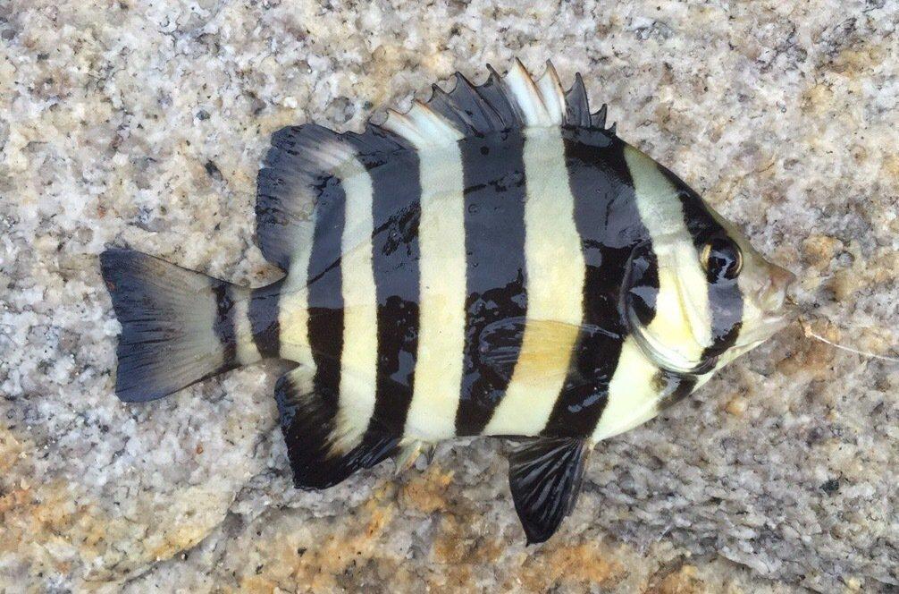 takashiさんの投稿画像,写っている魚はイシダイ