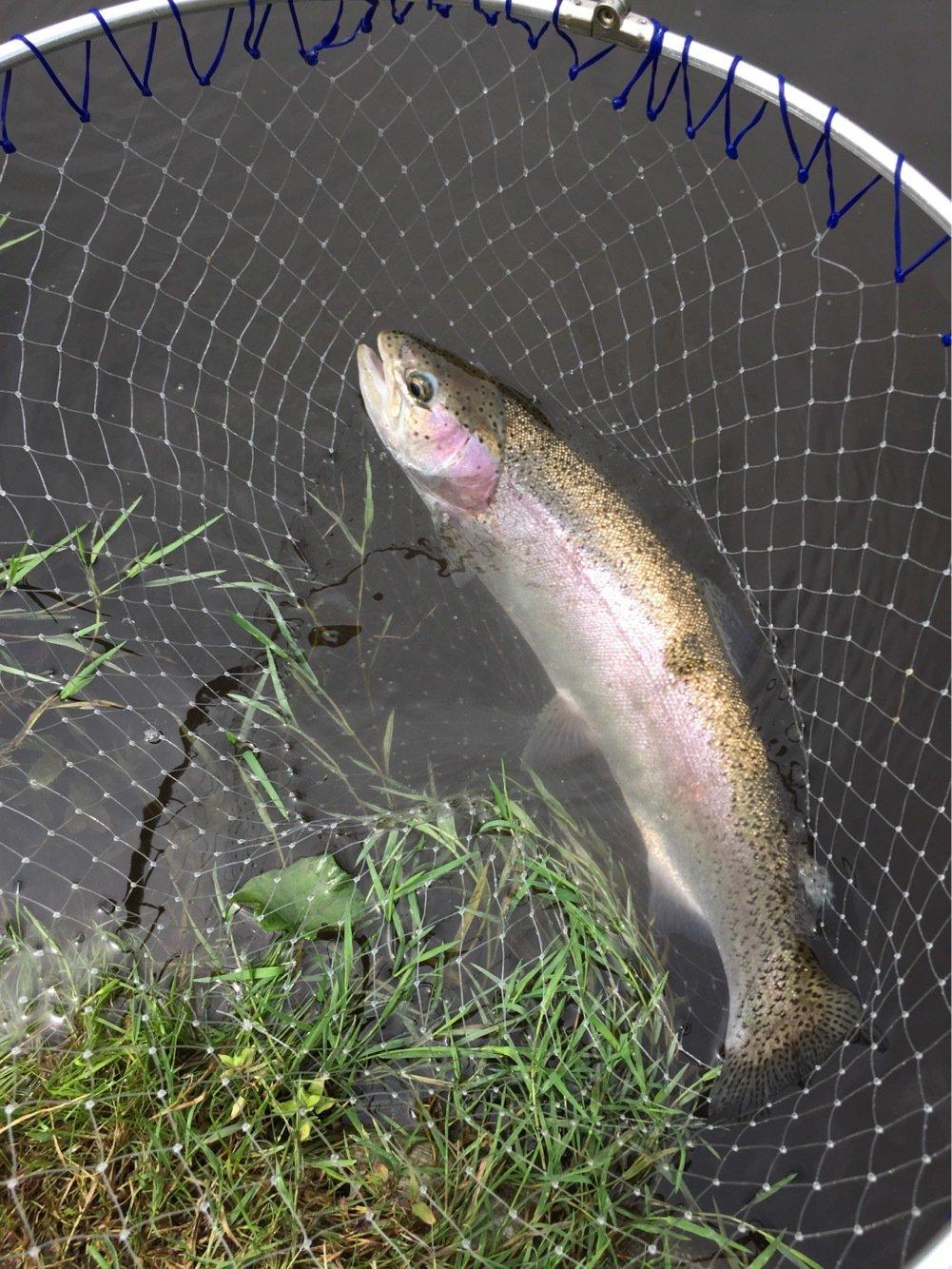 れんさんの投稿画像,写っている魚はニジマス