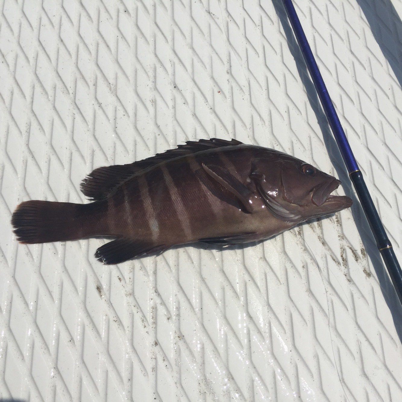 ハヤマナジマさんの投稿画像,写っている魚はマハタ