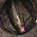 釣りバカボウズ @俊さんの奈良県大和郡山市でのナマズの釣果写真