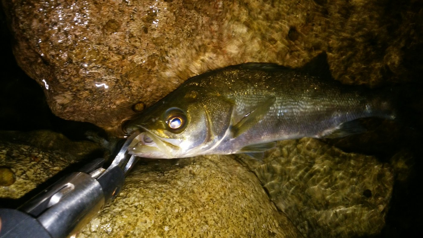ゆーま武士さんの投稿画像,写っている魚はスズキ