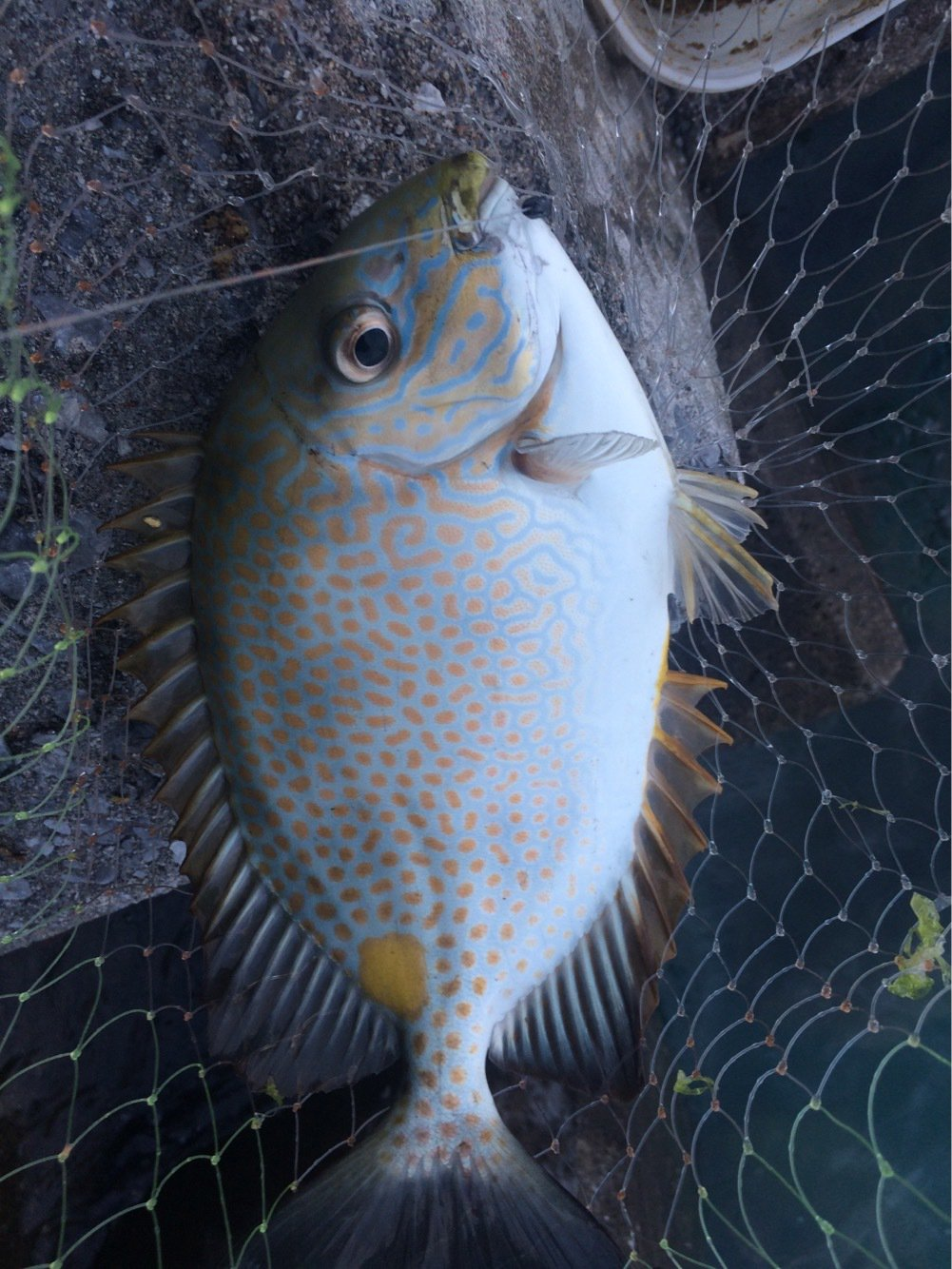 つり吉さんの投稿画像,写っている魚は