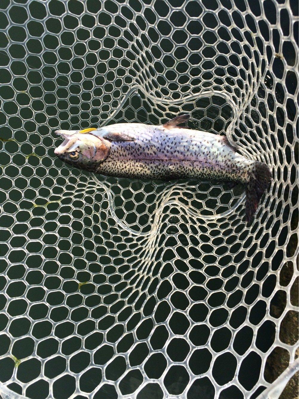 むぅーろぉーさんの投稿画像,写っている魚はニジマス