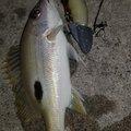 てるさんの沖縄県石垣市での釣果写真