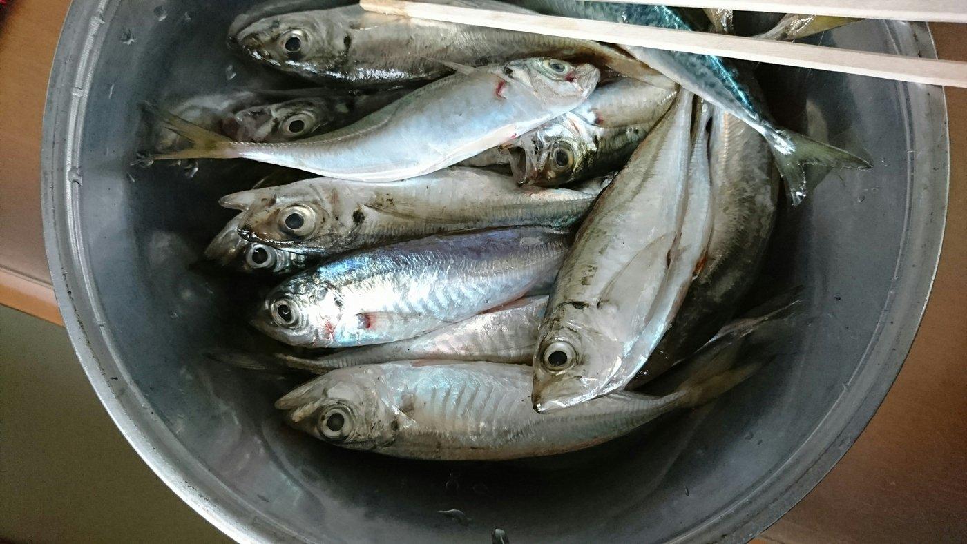 シゲキックスさんの投稿画像,写っている魚はアジ