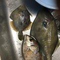 なーさんの神奈川県でのカワハギの釣果写真