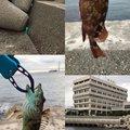 ルナごん@ヘルベチカさんの兵庫県明石市でのアナハゼの釣果写真