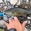 シーアツさんの栃木県河内郡での釣果写真