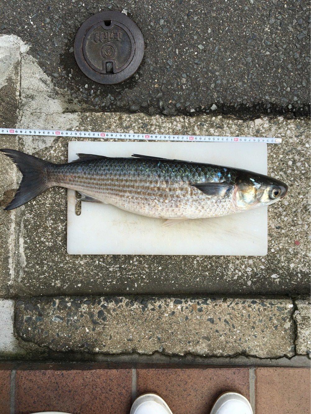 Yuuuuuuukiさんの投稿画像,写っている魚はボラ