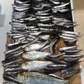 うどんさんのコノシロの釣果写真