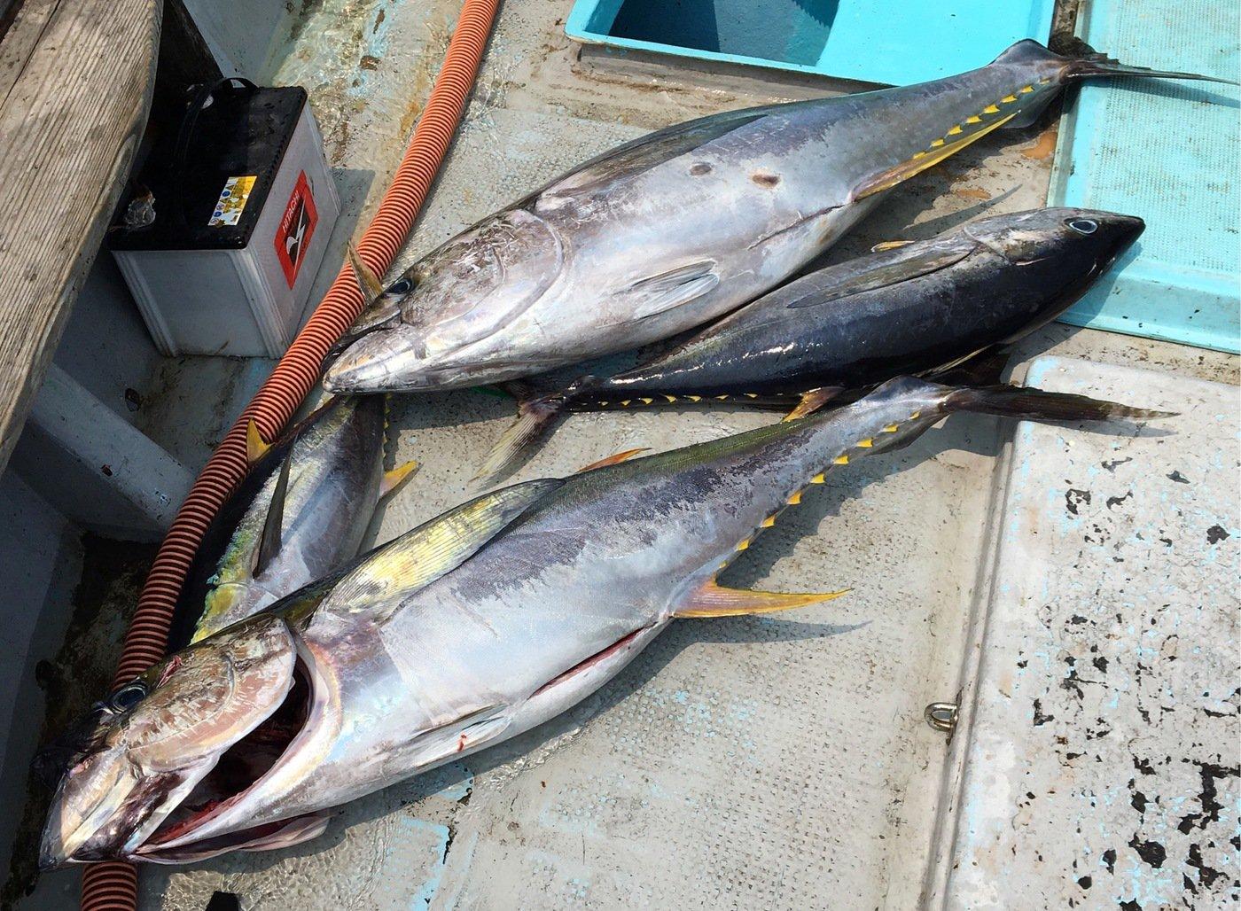 ユミさんの投稿画像,写っている魚はキハダマグロ