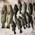 Akiさんの北海道でのクロソイの釣果写真