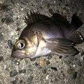 こーきさんの千葉県習志野市での釣果写真