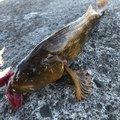 てつこさんの宮城県多賀城市でのアイナメの釣果写真