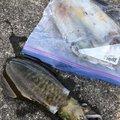 ぴえろさんの徳島県阿南市でのアオリイカの釣果写真