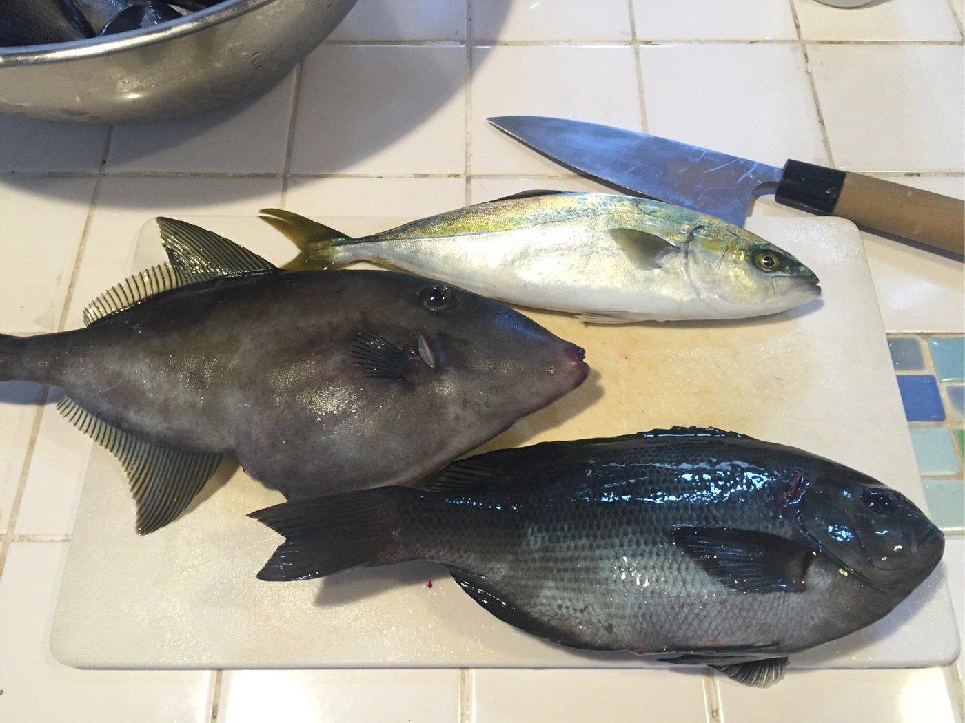 ハヤマナジマさんの投稿画像,写っている魚はウマズラハギ
