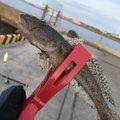 じゅんさんの新潟県柏崎市での釣果写真