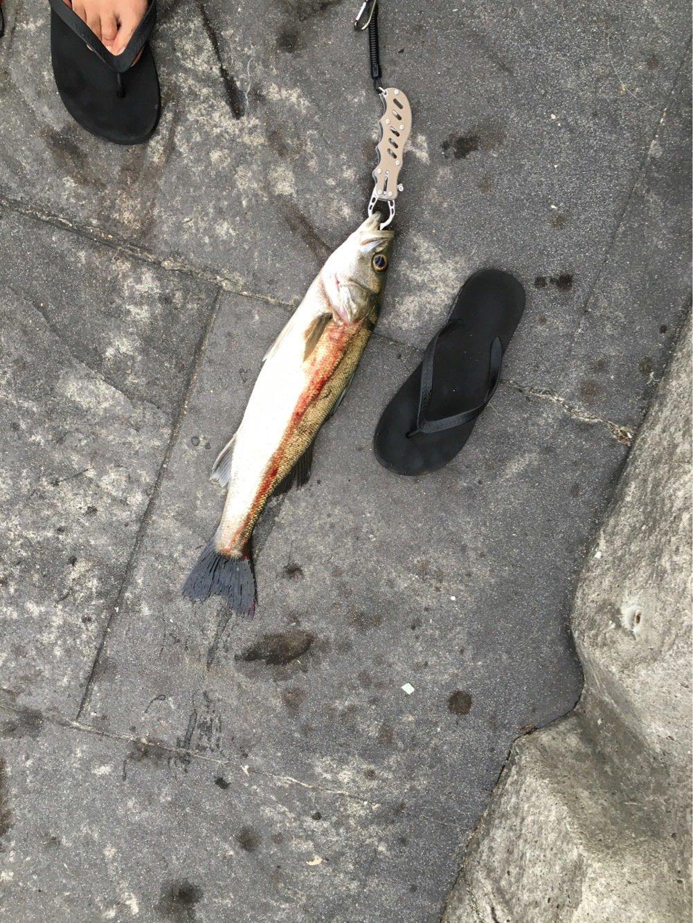 skyさんの投稿画像,写っている魚はスズキ