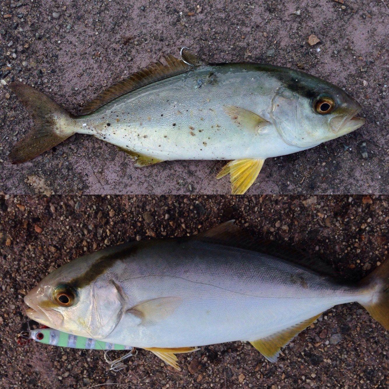Markey×F×Dさんの投稿画像,写っている魚はカンパチ