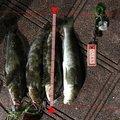 あんけんさんの宮城県石巻市でのアイナメの釣果写真