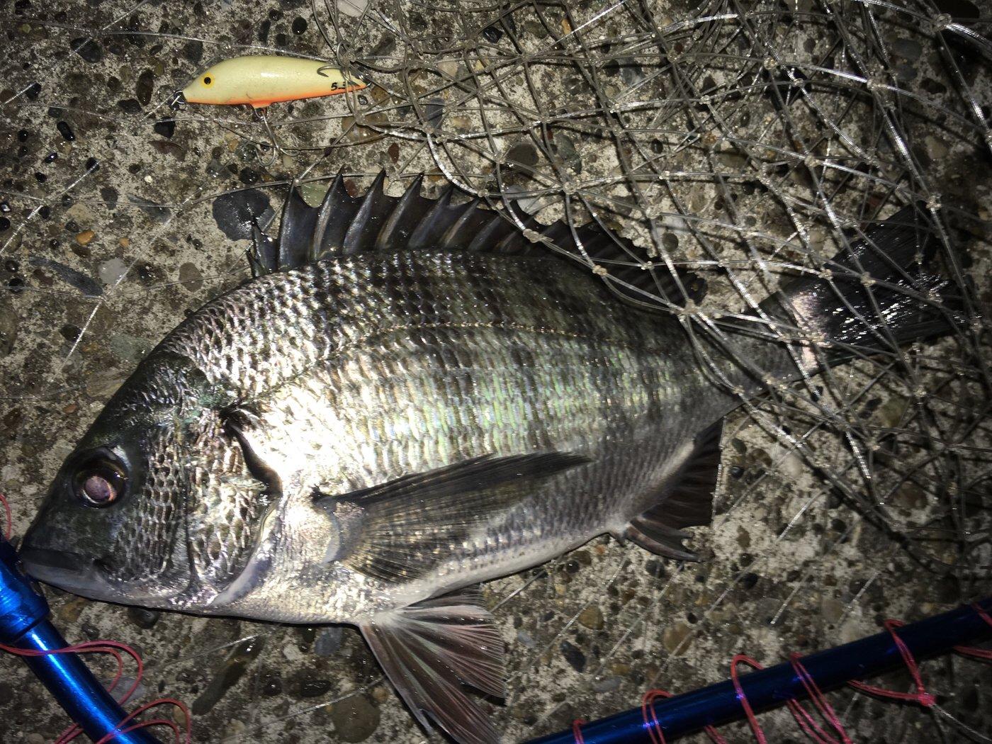 hachiさんの投稿画像,写っている魚はクロダイ