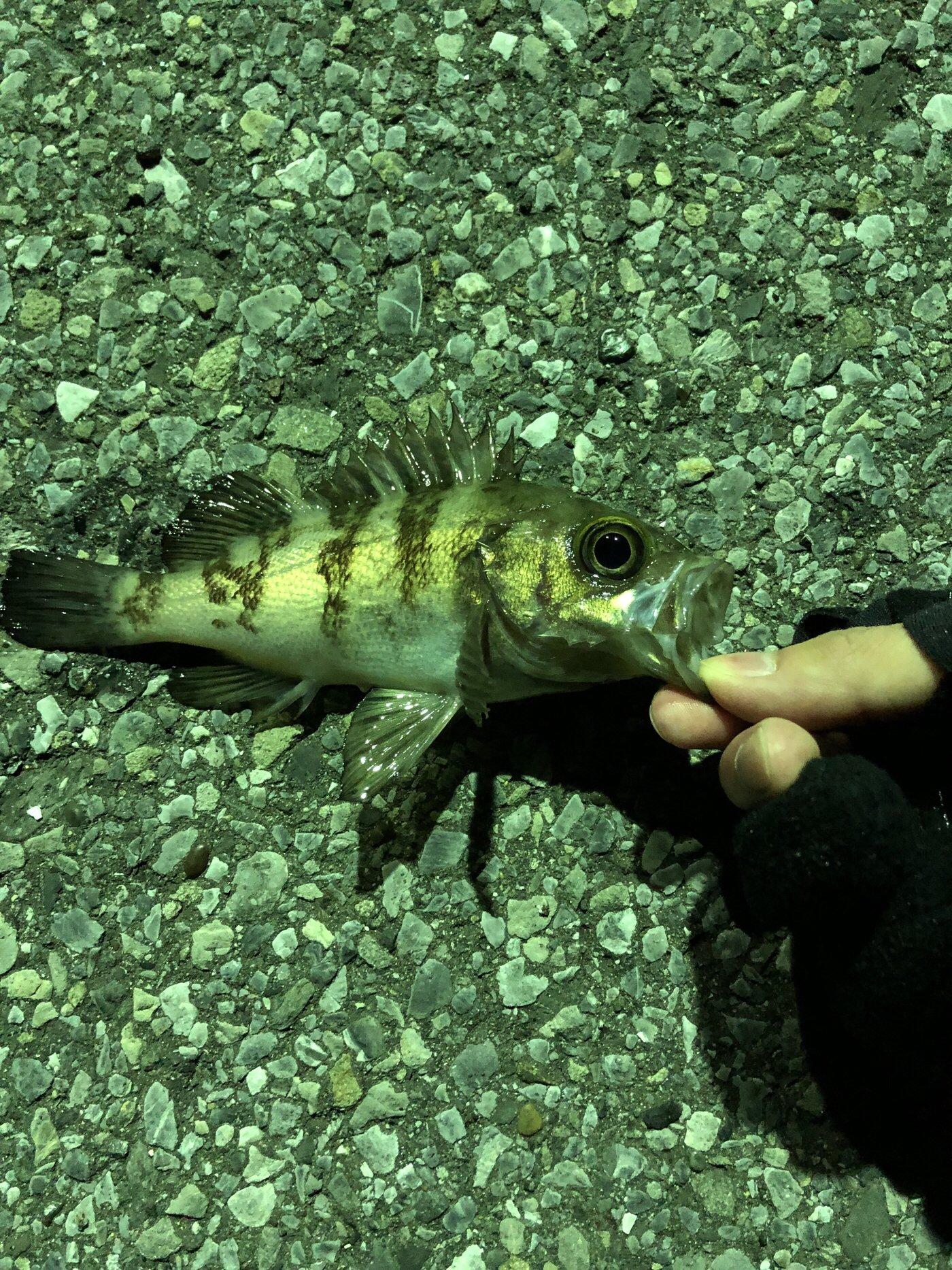 ヨウヘイさんの投稿画像,写っている魚はメバル