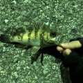 ヨウヘイさんの千葉県富津市での釣果写真