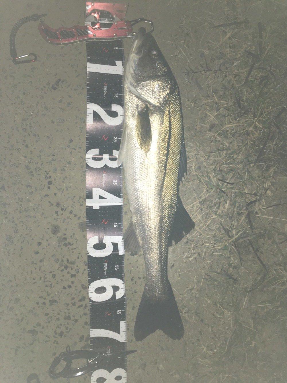 きょんさんの投稿画像,写っている魚はスズキ