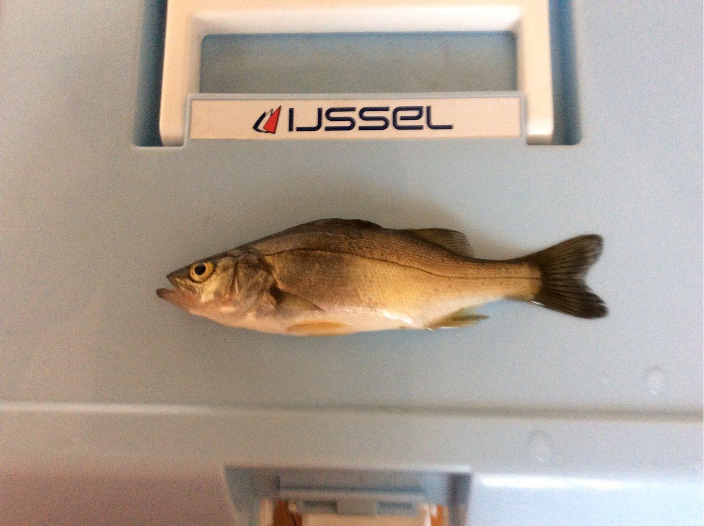 アイナメさんの投稿画像,写っている魚はスズキ