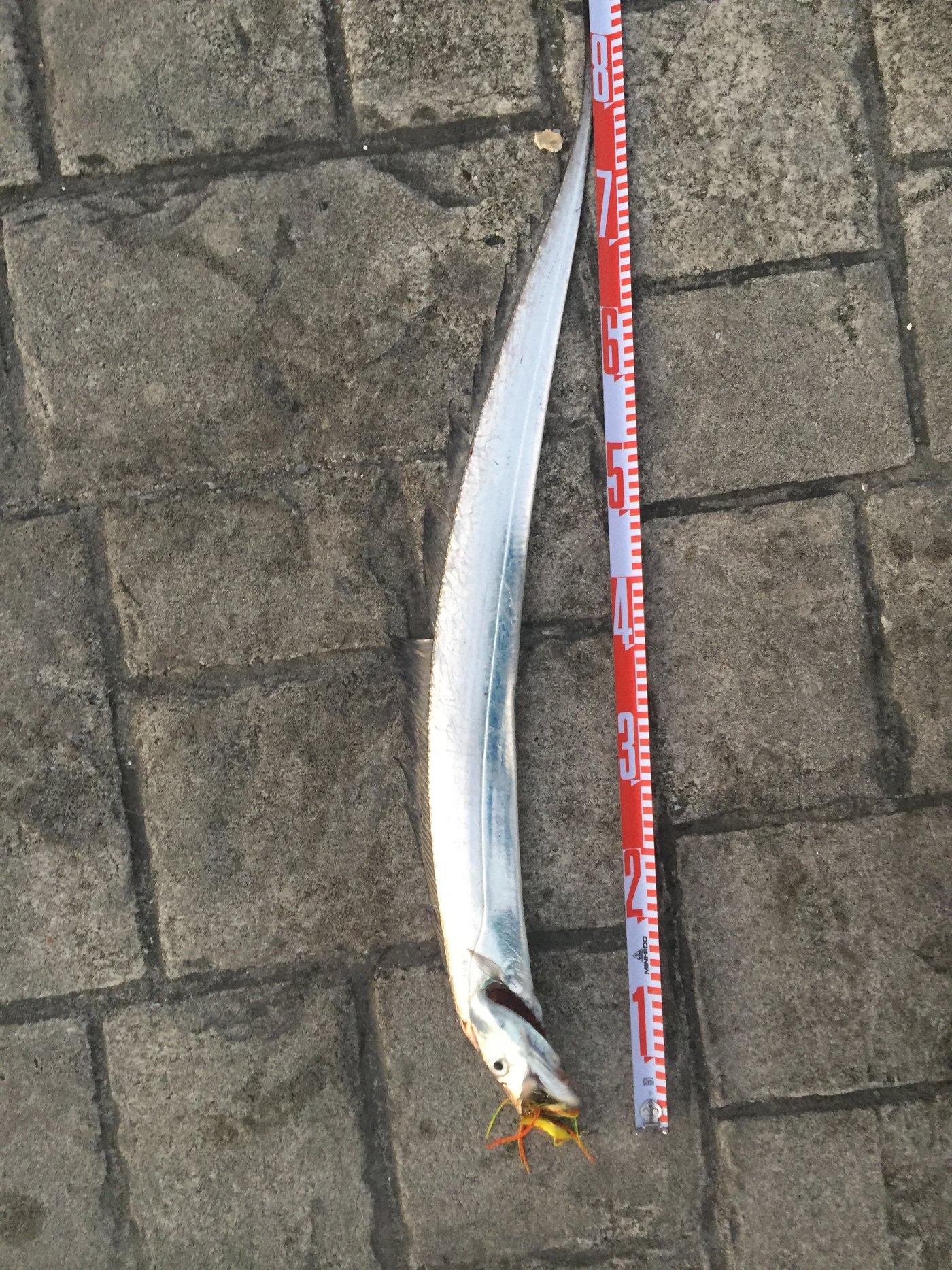 としおさんの投稿画像,写っている魚はタチウオ