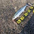 みっちぃさんの石川県羽咋郡での釣果写真