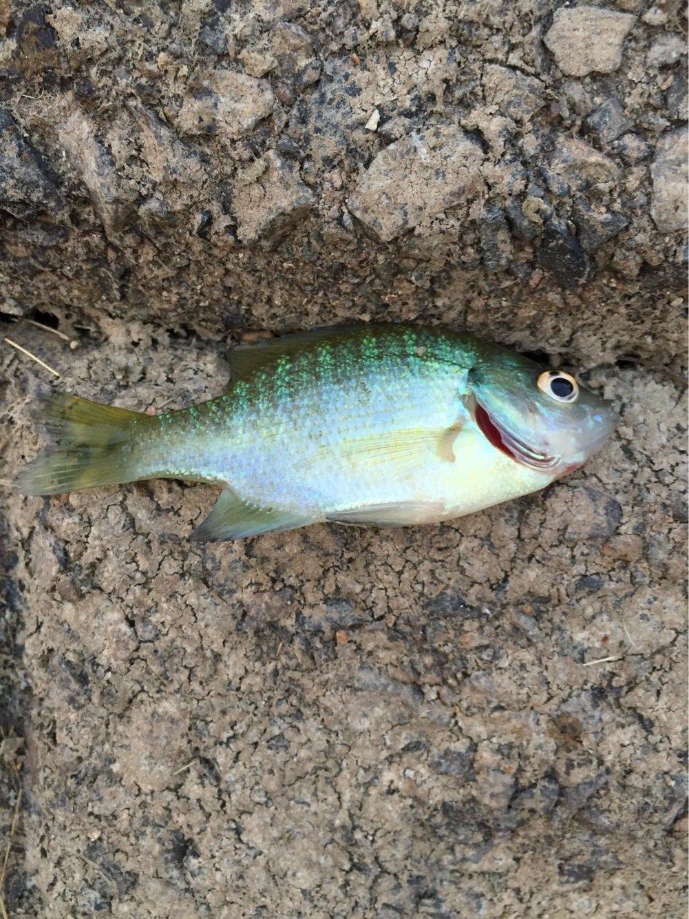 iwazoneさんの投稿画像,写っている魚はブルーギル