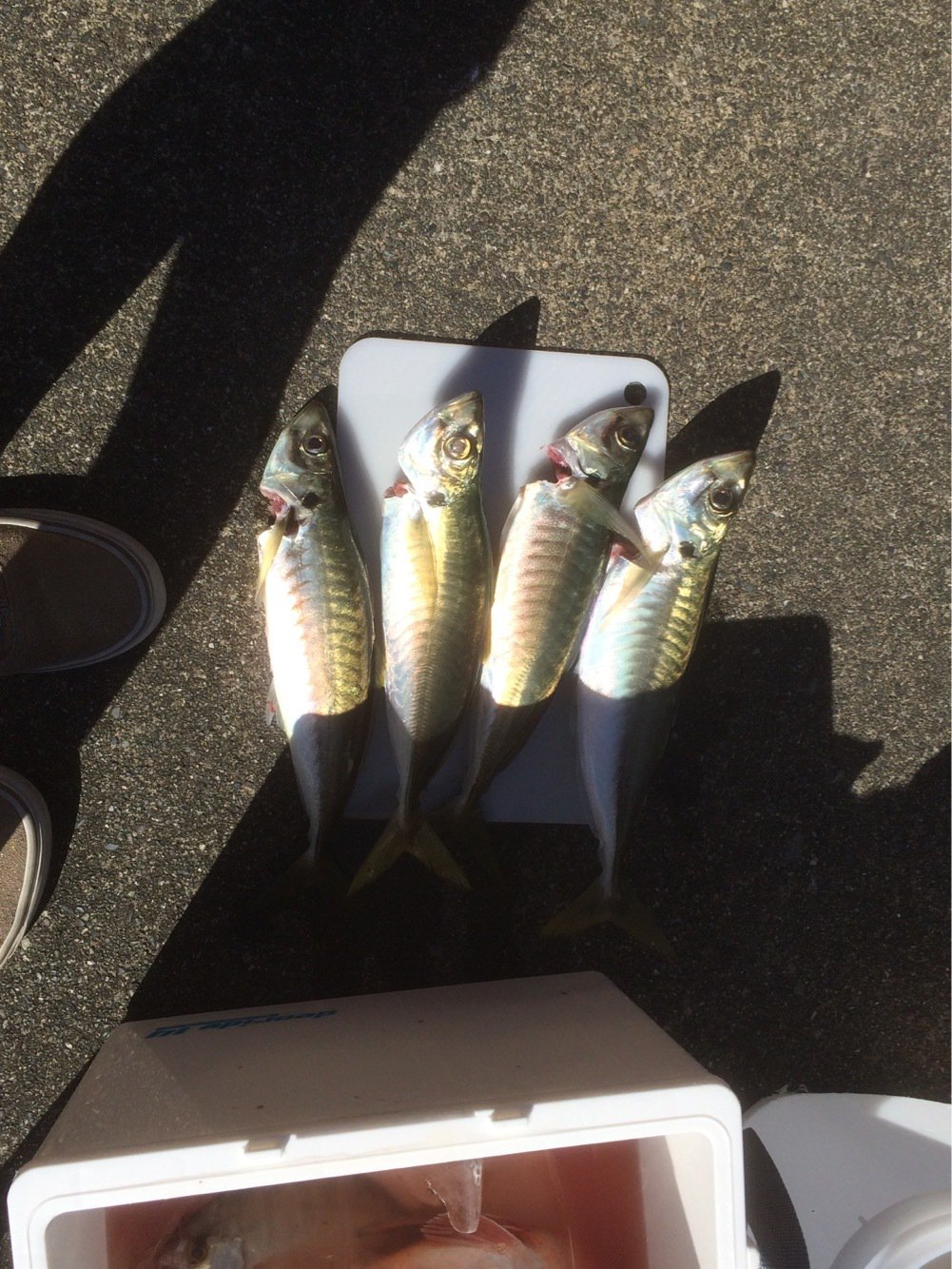 ヒロッシーさんの投稿画像,写っている魚はアジ