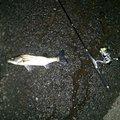 M@Uemuraさんの三重県四日市市でのスズキの釣果写真