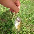 伝説の釣り師(ギル)さんの福島県須賀川市での釣果写真