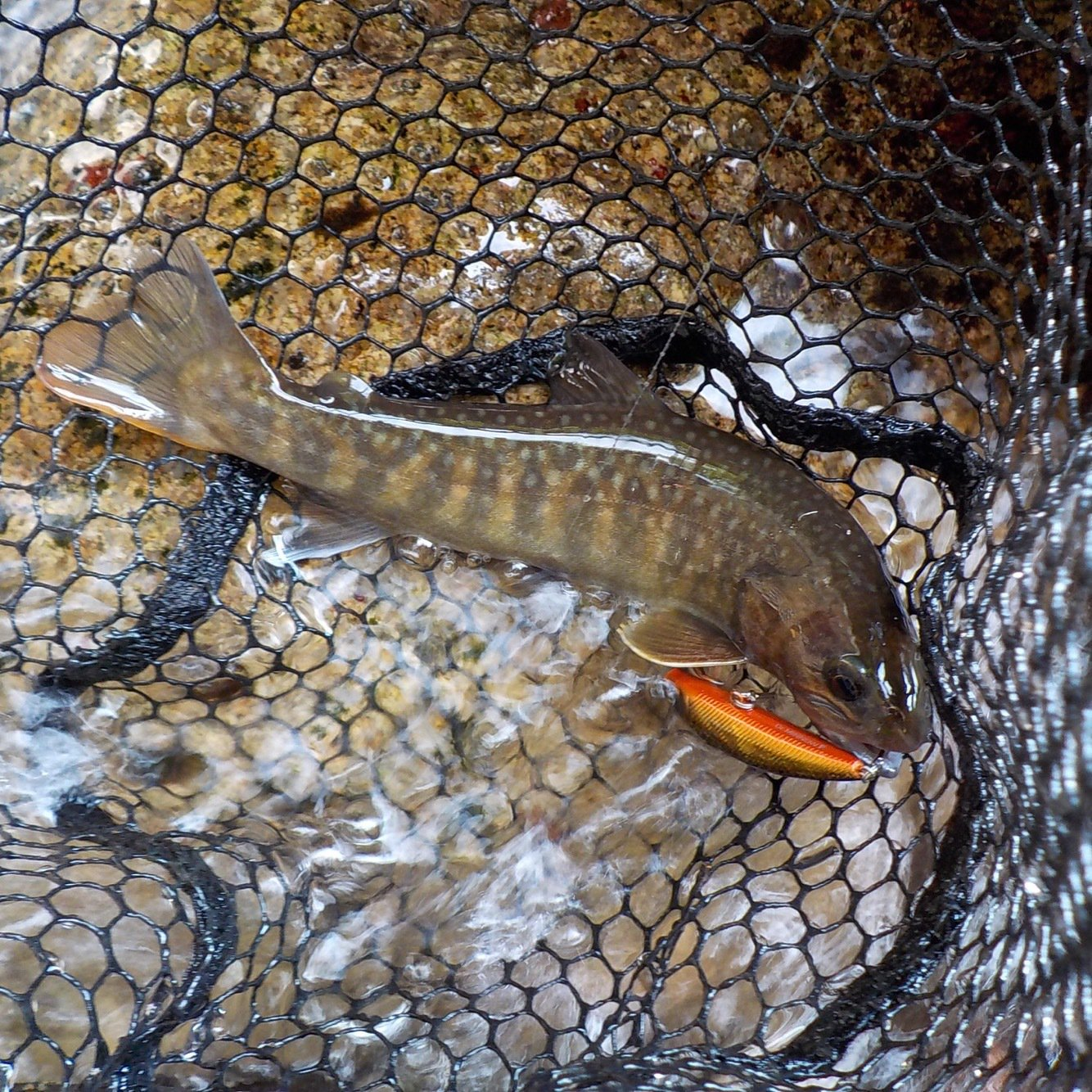 yuu_samさんの投稿画像,写っている魚はイワナ