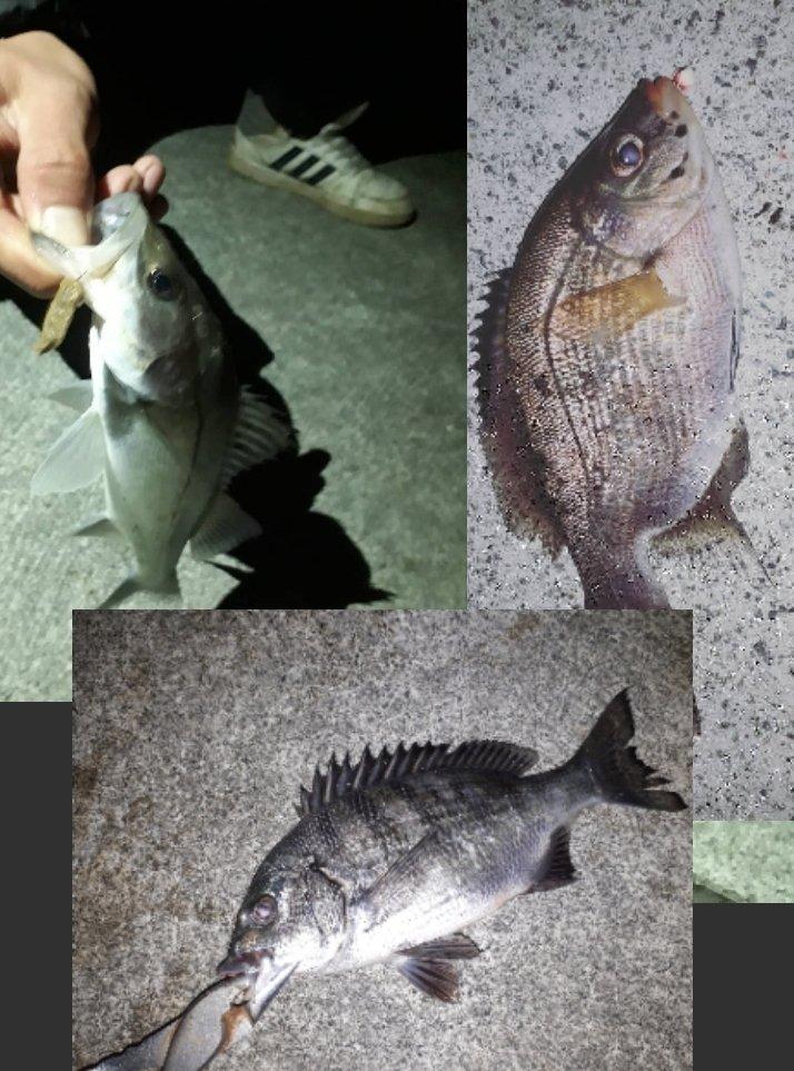だいすけさんの投稿画像,写っている魚はウミタナゴ,スズキ,クロダイ