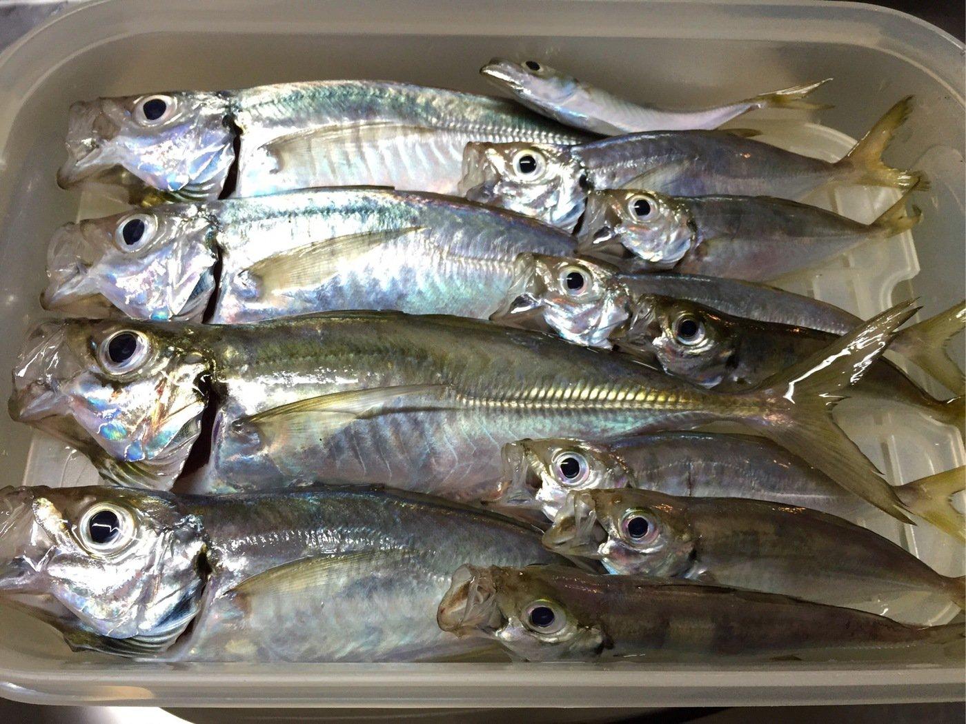 ガーさんの投稿画像,写っている魚はアジ