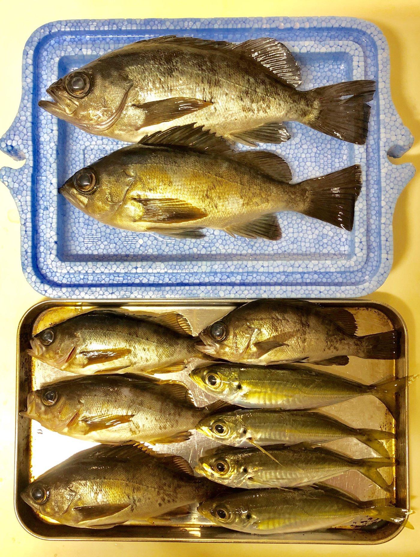 sjさんの投稿画像,写っている魚はメバル,アジ