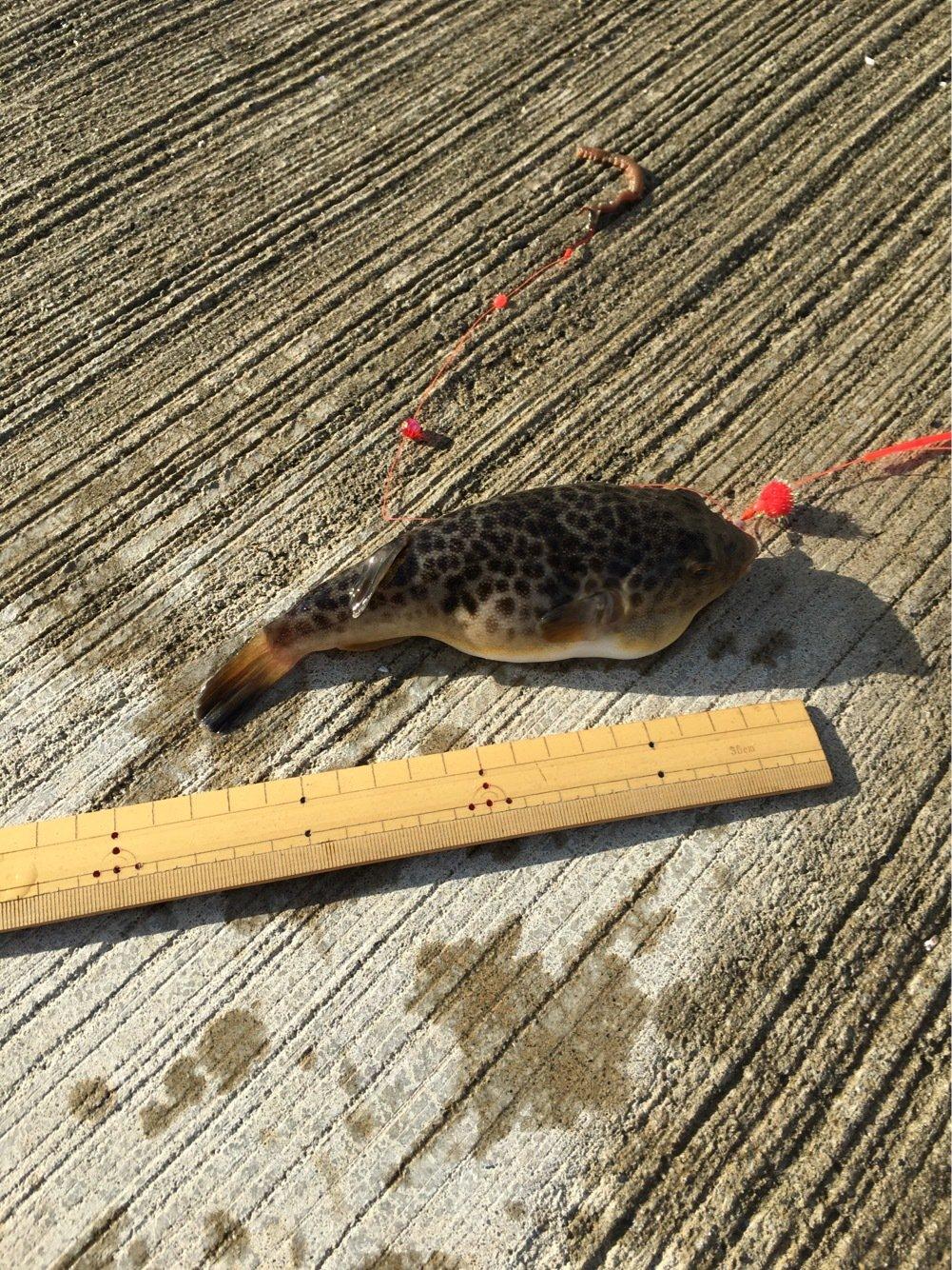 砂糖のおっちゃんさんの投稿画像,写っている魚はクサフグ