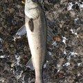 タカさんの千葉県習志野市での釣果写真
