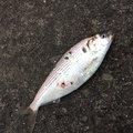 源五郎さんの三重県津市での釣果写真