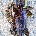 snufkin49さんの兵庫県加古川市でのタケノコメバルの釣果写真