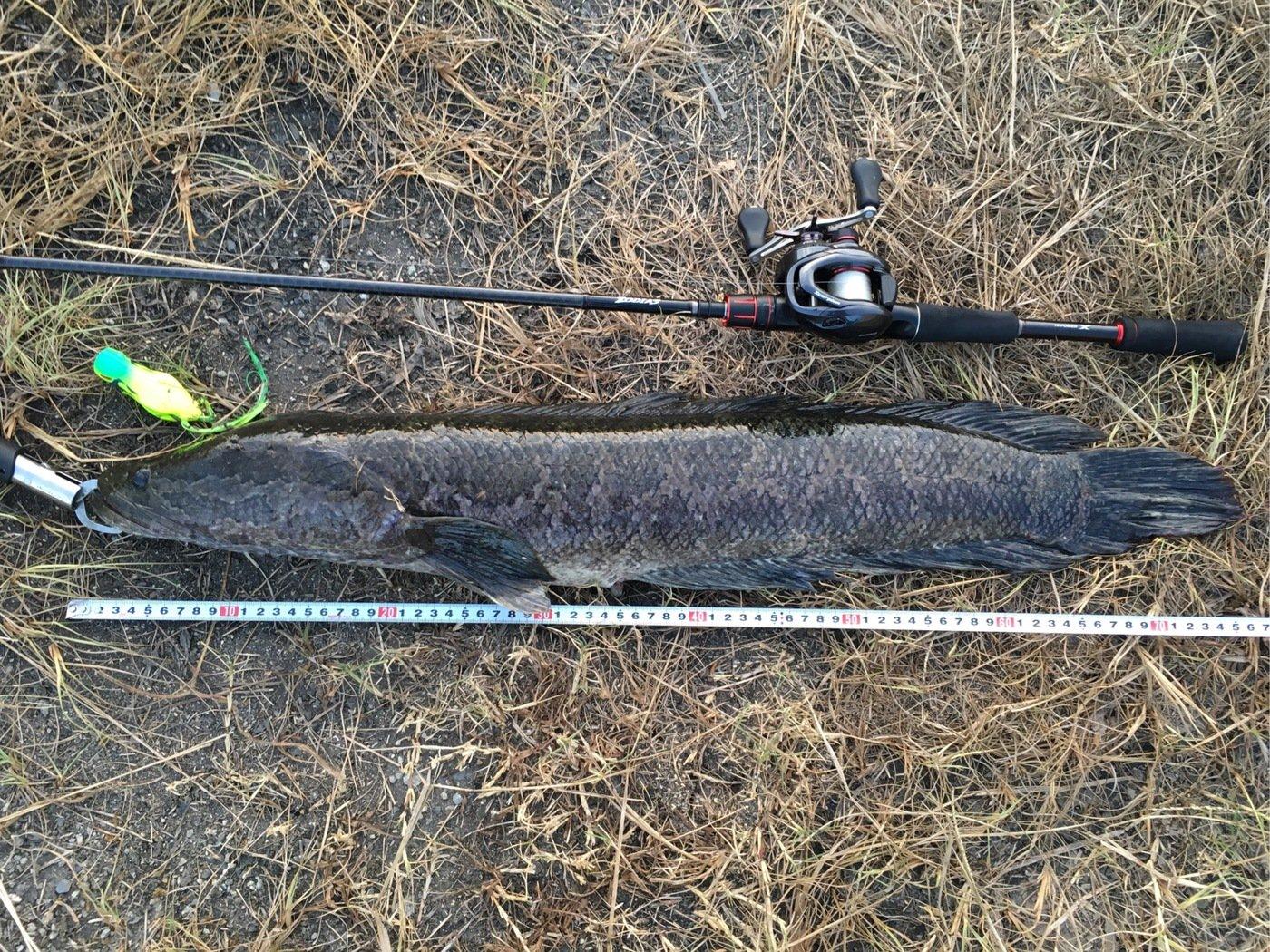 TAGUCHIさんの投稿画像,写っている魚はライギョ