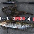 ゆりさんの北海道でのアイナメの釣果写真